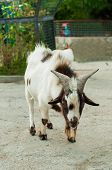 picture of billy goat  - Speckled goat at the zoo in summer - JPG