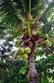 Coconut On Palm