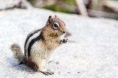 picture of chipmunks  - A wild chipmunk  - JPG