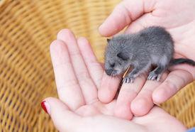 stock photo of opossum  - new born opossum in a girls hand  - JPG