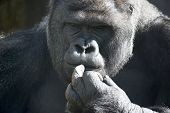 pic of face-fungus  - Thoughtful expression of a gorilla male silverback family leader - JPG