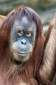 image of orangutan  - Closeup portrait of an orangutan female - JPG