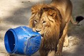 picture of predator  - Young asian lion is carrying the blue plastic tun - JPG