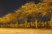 stock photo of night-blooming  - alley of blossom cherry trees in night city - JPG