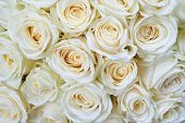 pic of single white rose  - Many white roses as a floral background - JPG