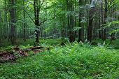 picture of alder-tree  - Old moss wrapped ash tree lying and old natural deciduous stand of Bialowieza Forest in summer - JPG