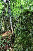 image of leafy  - Leafy trees in beautiful foerst in Slovakia - JPG