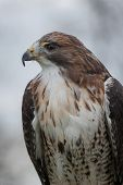 foto of tail  - side view close up detailed profile portrait of an isolated red tailed hawk - JPG