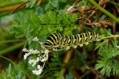 stock photo of green caterpillar  - Nice colored caterpillar on a green stem of white flower - JPG