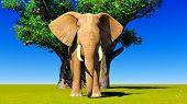 image of baobab  - Single elephant standing next to baobabs - JPG