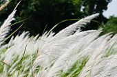 picture of wind blown  - The reeds in the field are being blown by the wind - JPG