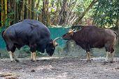 pic of aurochs  - Indian gaur - JPG