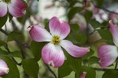 pic of dogwood  - This is a beautiful pink to red blossom of the spring flowering tree Cornus florida Rubra, or dogwood. 