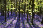 image of harebell  - Beautiful sunlit morning in Spring bluebell forest - JPG