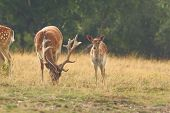 image of deer family  - herd of fallow deers  - JPG
