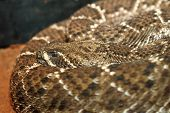 image of western diamondback rattlesnake  - western diamondback rattlesnake shoving its camouflage pattern on skin in a terrarium - JPG