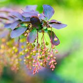 picture of barberry  - beautiful blooming twig of european barberry  - JPG