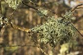 stock photo of lichenes  - lichen on the branches of a tree growing in the forest - JPG