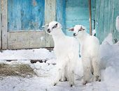 pic of baby goat  - Two baby goats in the farm in front of blue door - JPG