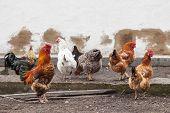 picture of hen house  - Cock and hens walking on rural yard - JPG