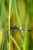 foto of broad-bodied  - A broad bodied dragonfly resting on reeds - JPG