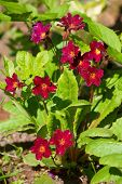 stock photo of primrose  - Blooming primrose on a bed in a Sunny spring day - JPG