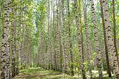 pic of birchwood  - Natural background  - JPG