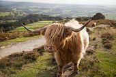 foto of hirsutes  - A highland cow at Baslow Edge in the Peak District, UK