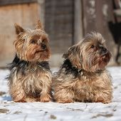 stock photo of yorkshire terrier  - Beautiful Yorkshire Terriers sitting on snow in winter - JPG