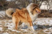 picture of collie  - Beautiful Scotch collie running on snow in winter - JPG