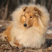 stock photo of collie  - Amazing scotch collie lying in winter forest - JPG