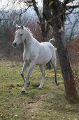 pic of stallion  - White arabian stallion running alone in autumn - JPG