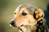 picture of clever  - Brown Dog Head Close Up Portrait - JPG