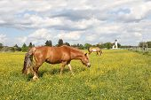picture of buttercup  - grazing horses in buttercup meadow idyllic landscape with church - JPG