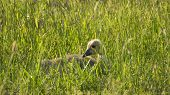 stock photo of baby goose  - Baby Canada Goose Gosling Hiding in Grass - JPG