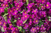 picture of primrose  - primrose in spring close up  - JPG