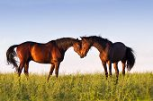 picture of beautiful horses  - Couple of beautiful horse touch each other in meadow - JPG