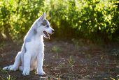 image of wolf-dog  - Husky puppy dog on the nature - JPG