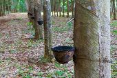 pic of row trees  - Row of para rubber tree - JPG
