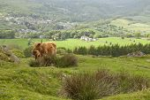 stock photo of calves  - A mother Highland cow and her Calf - JPG