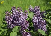 stock photo of lilac bush  - Blossoming lilac bush with green leaves close - JPG