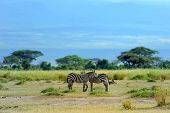 stock photo of grassland  - Zebra in the grasslands of the National Park - JPG