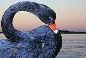 foto of black swan  - close up of a black swan with water in the background - JPG