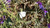 stock photo of moth  - White Moth Resting On Green Stalk Wings Open - JPG