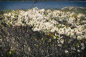 stock photo of martha  - Beach with white flowers on Martha - JPG