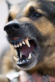 stock photo of dog teeth  - furious dog - JPG