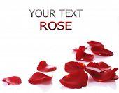 Постер, плакат: Границы лепестков роз