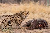 Постер, плакат: Cheetah On Warthog Kill