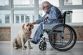 Peaceful Old Male Sitting In Invalid Chair While Wearing Pajamas In Room. He Is Stroking The Labrado poster