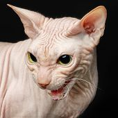 Cat Of Breed Sphynx Isolated On Black Background poster